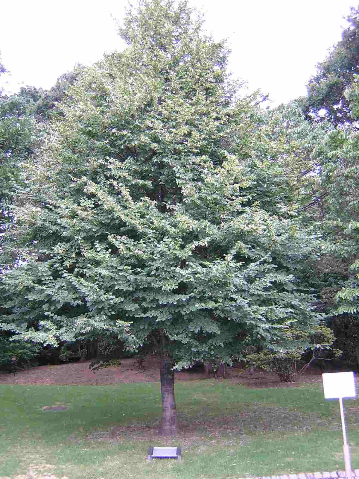 ゴルバチョフ大統領が記念植樹された木