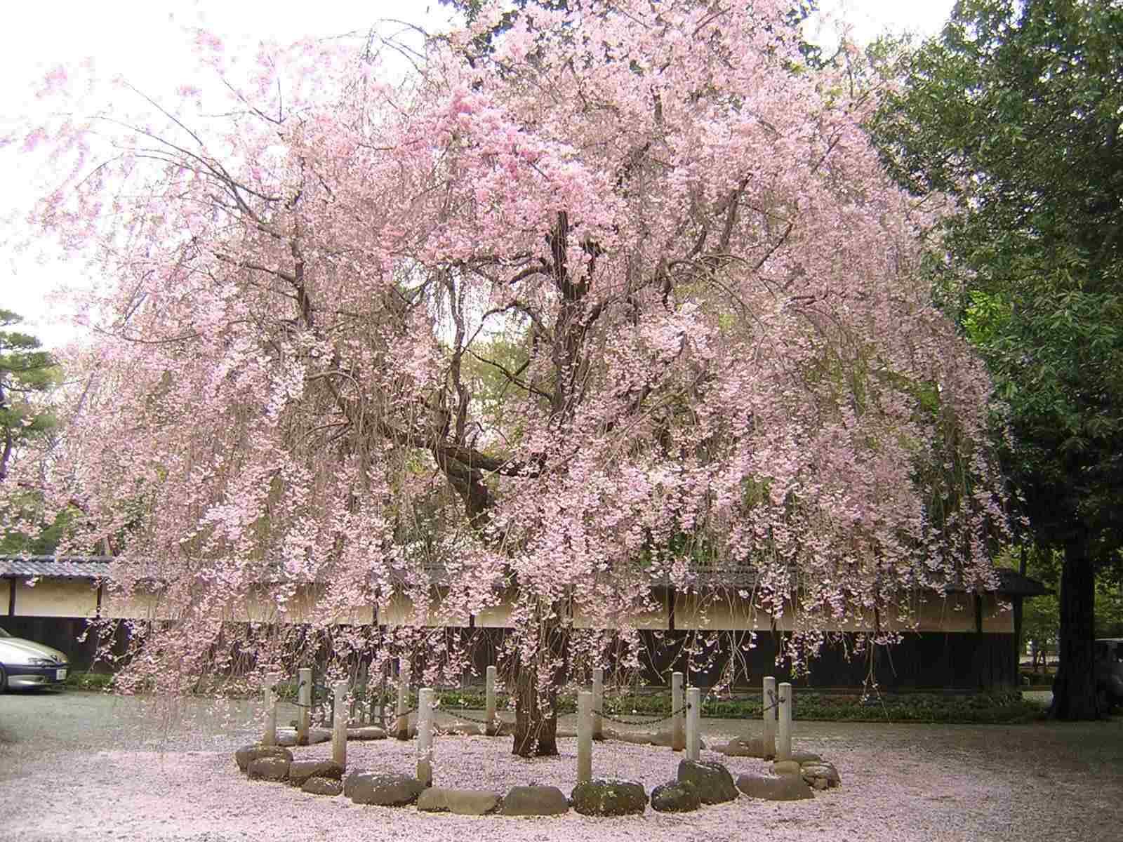 豪徳寺のしだれ桜