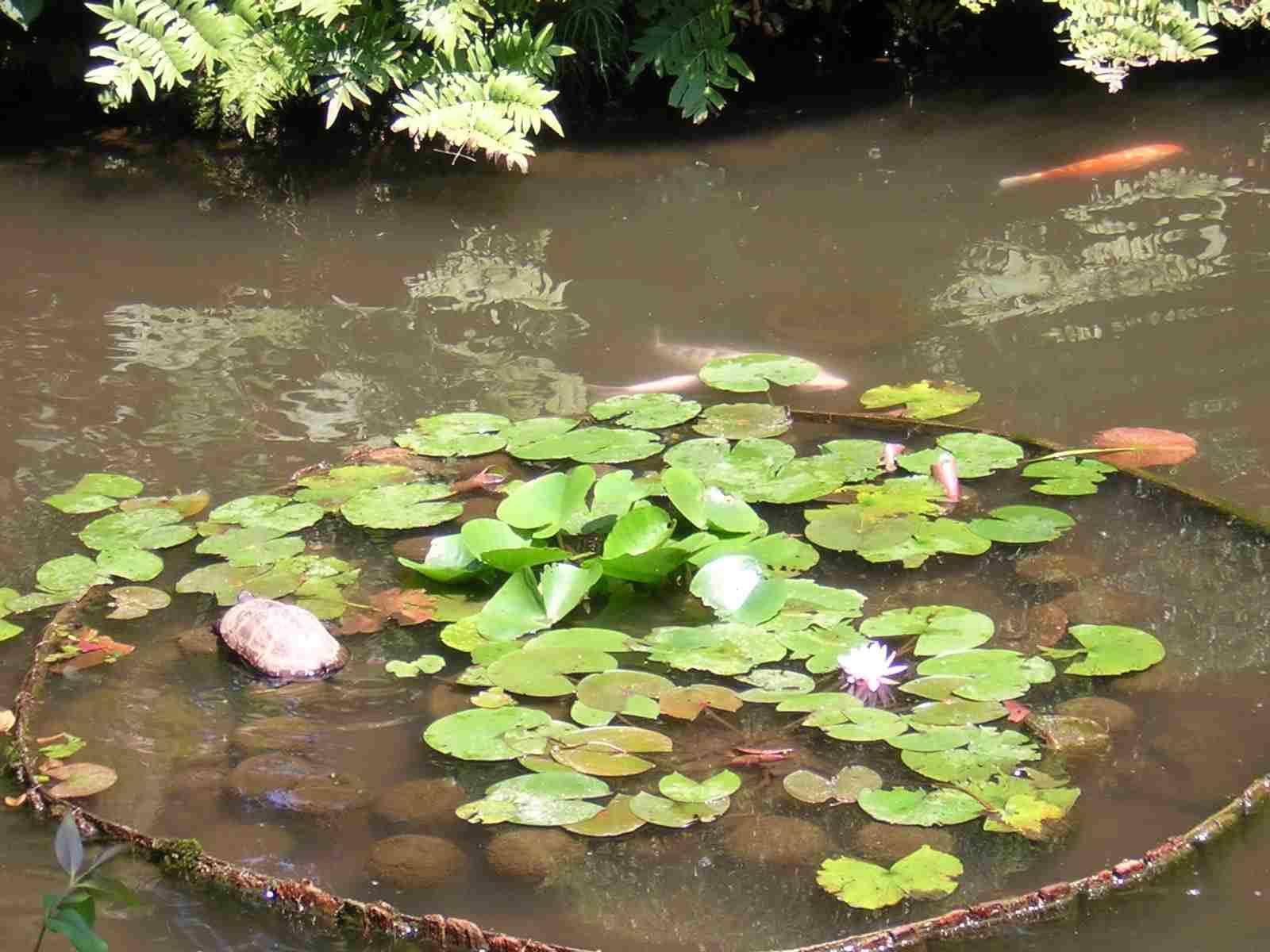 池田山公園の亀、鯉、水蓮