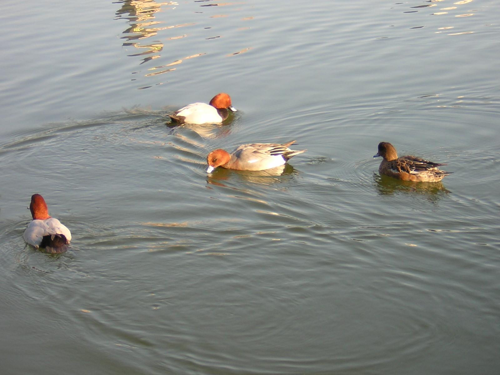 清澄庭園の水鳥