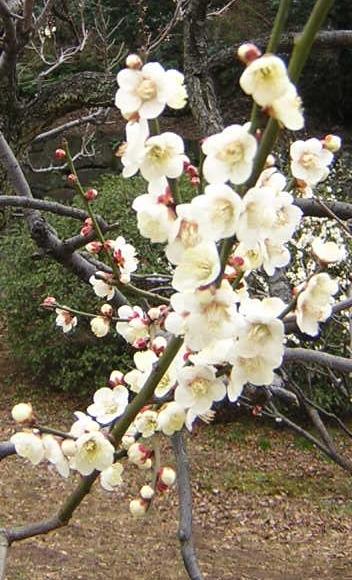 大倉山梅林の梅