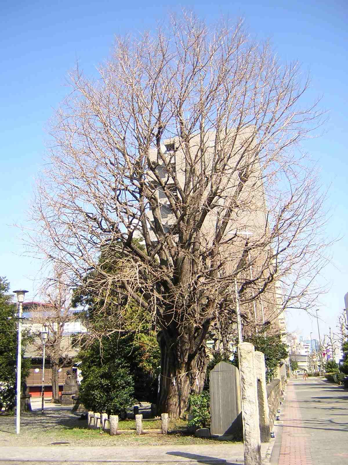 磐井神社のいちょう