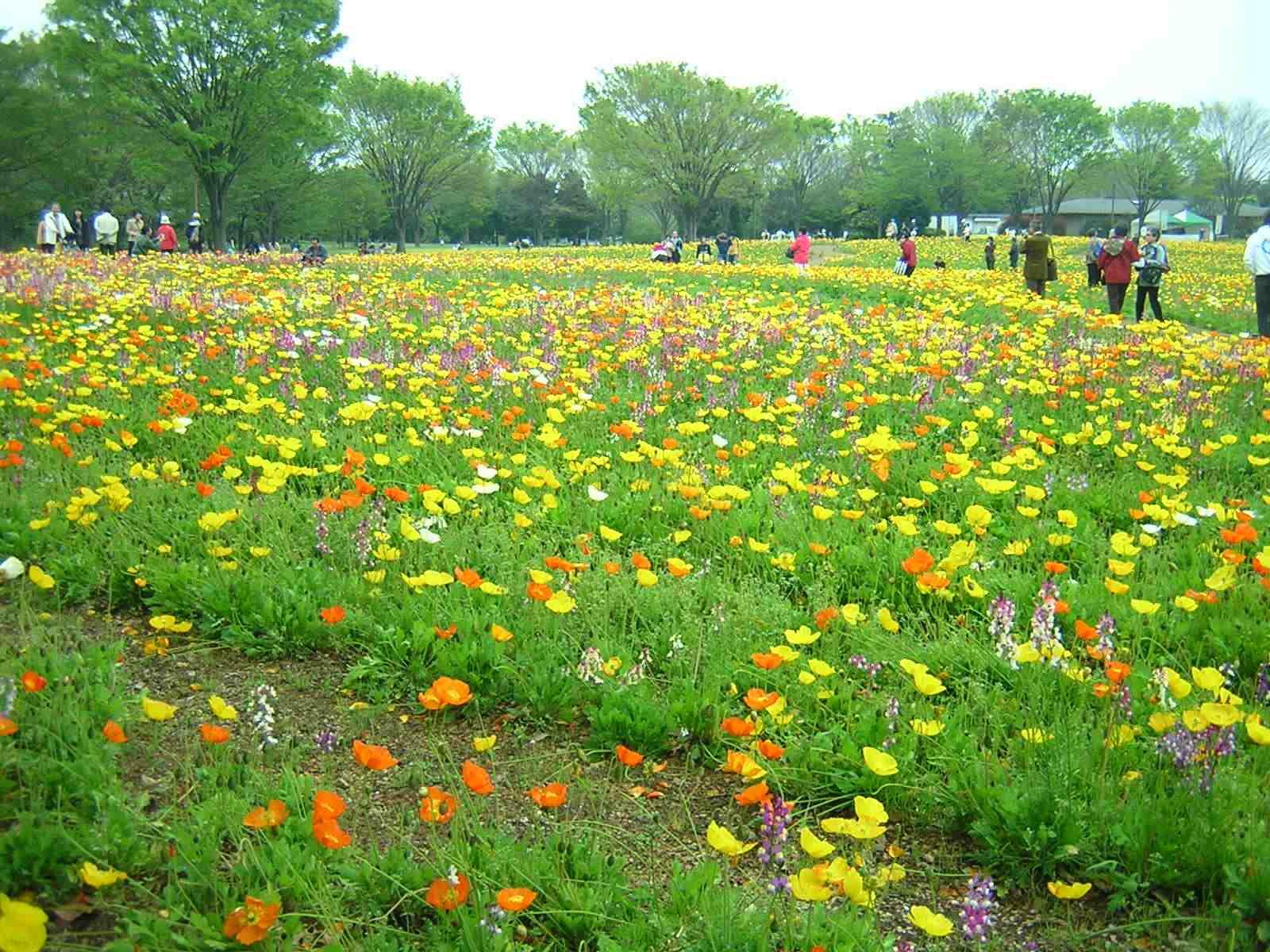 昭和記念公園のポピー