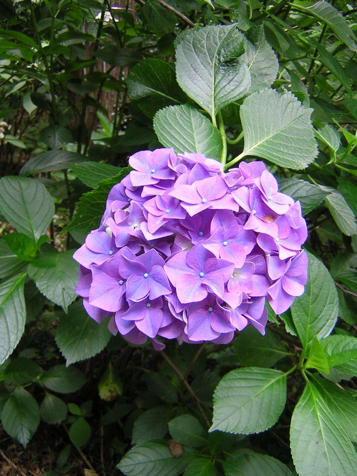 高幡不動の紫の紫陽花