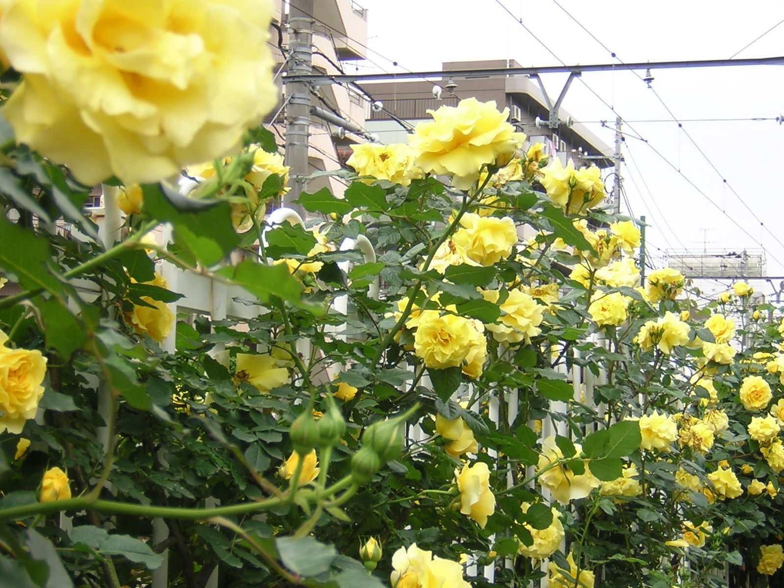 荒川遊園の黄色のバラ